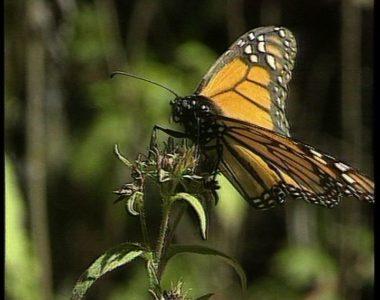 Les papillons du Michoacan